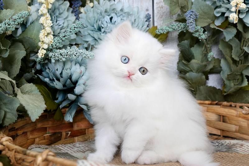 Особенности вислоухой шотландской голубой кошки