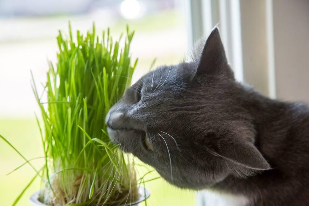 Почему кошки едят траву, и какая им нужна