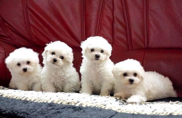 Бишон фризе – описание породы, преимущества и недостатки, как правильно выбрать щенка?
