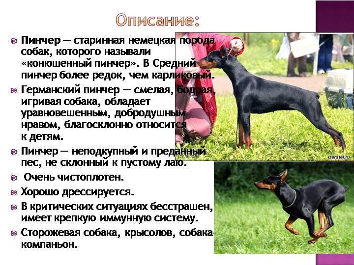 Австрийский пинчер: описание породы собак с фото и видео