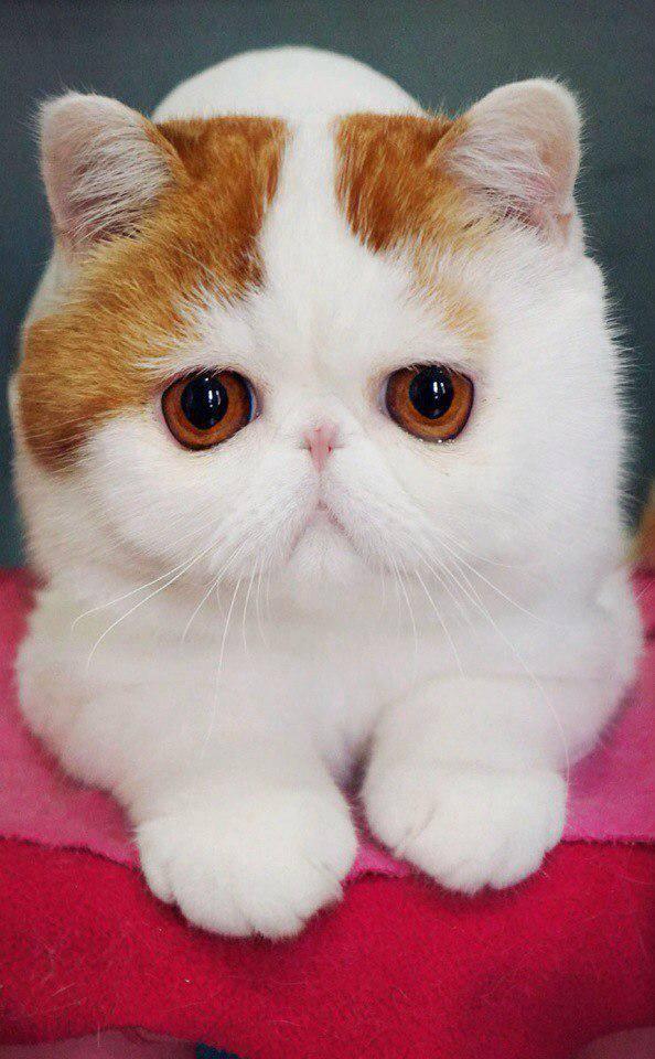Самые красивые породы кошек - смотрите рейтинг!