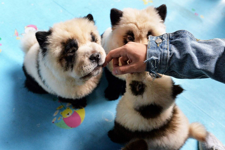 Чау-чау: характер и фото, уход, содержание, цена щенка