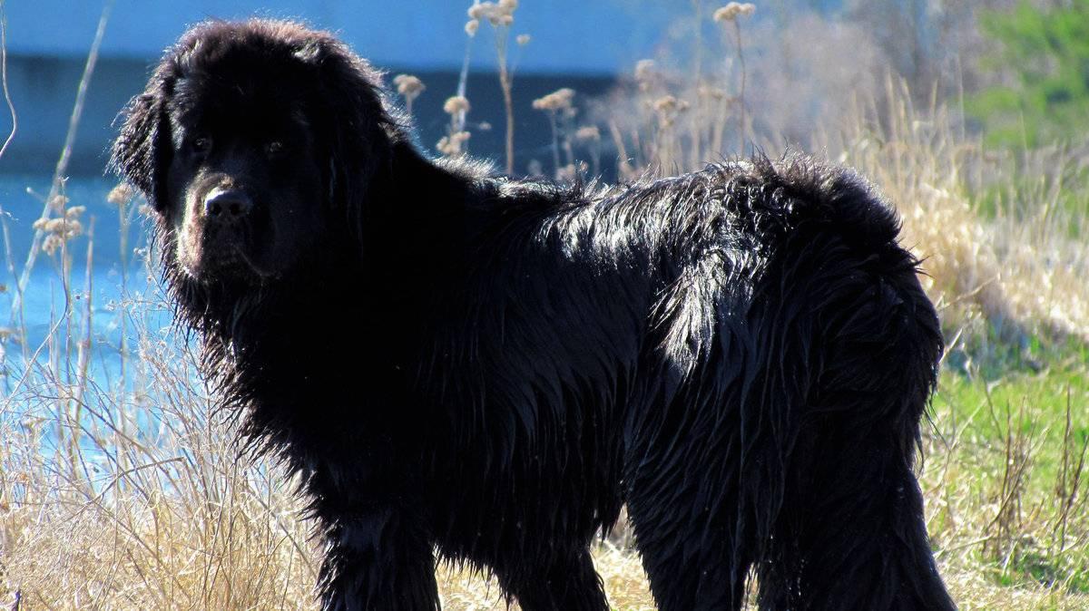 Ньюфаундленд (88 фото): описание породы собак-водолазов и характера щенков. как подобрать вольер для них? сколько живут? отзывы владельцев