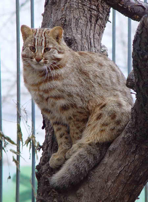 Как выглядят амурская кошка и дальневосточный лесной кот: окрас, фото; чем отличаются дикий амурский кот и леопардовый: интересные факты, цена; есть ли в продаже амурские котята, можно ли их купить?