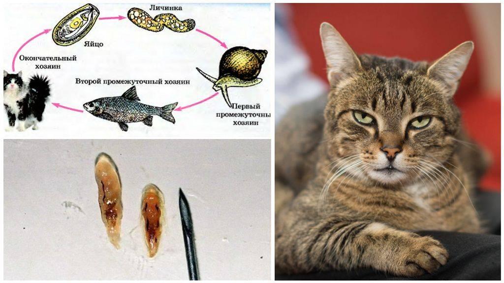 Ленточные глисты у кошек, гельминтоз: симптомы и лечение | hill's pet