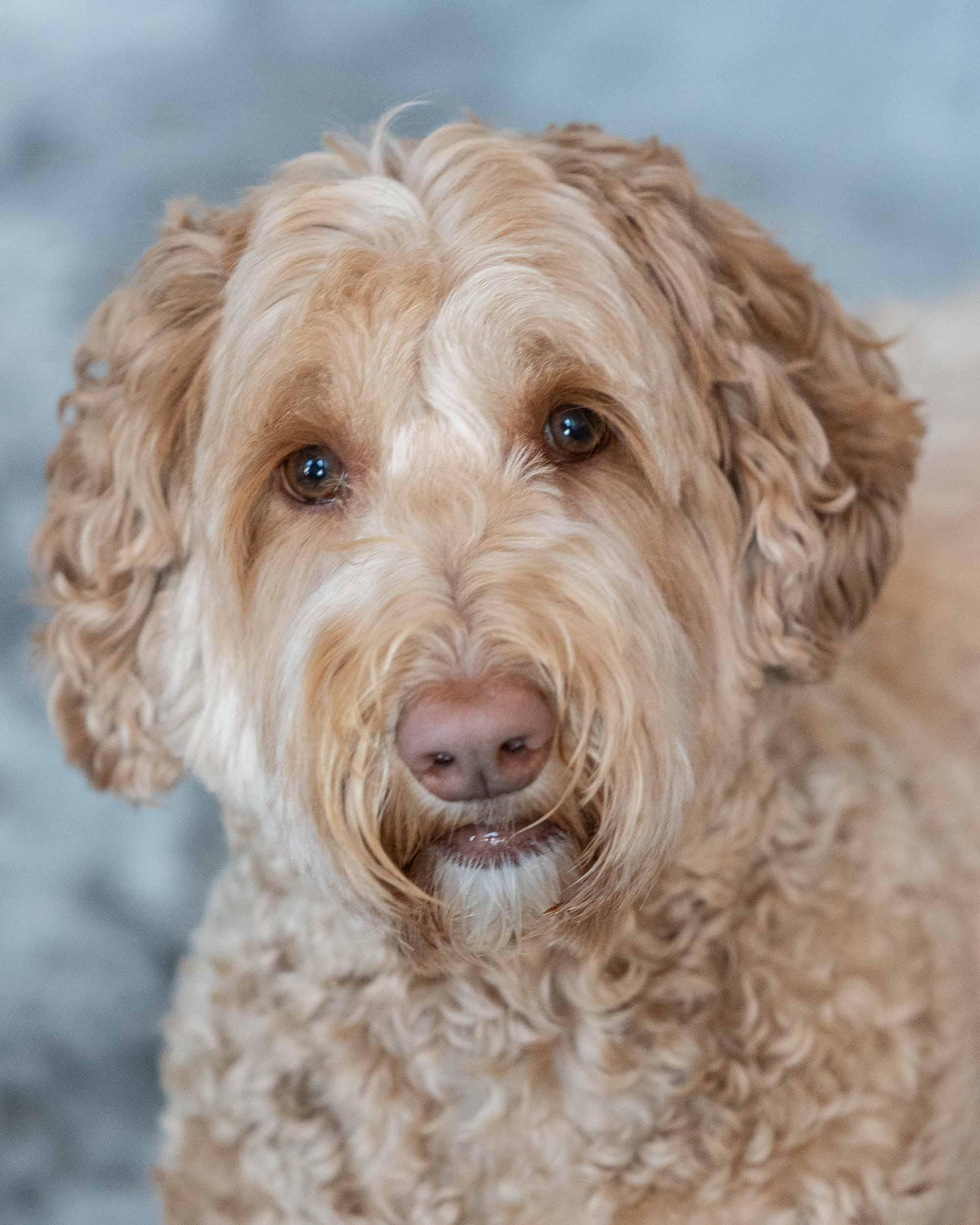 Описание породы собак лабрадудель: характер, уход, предназначение