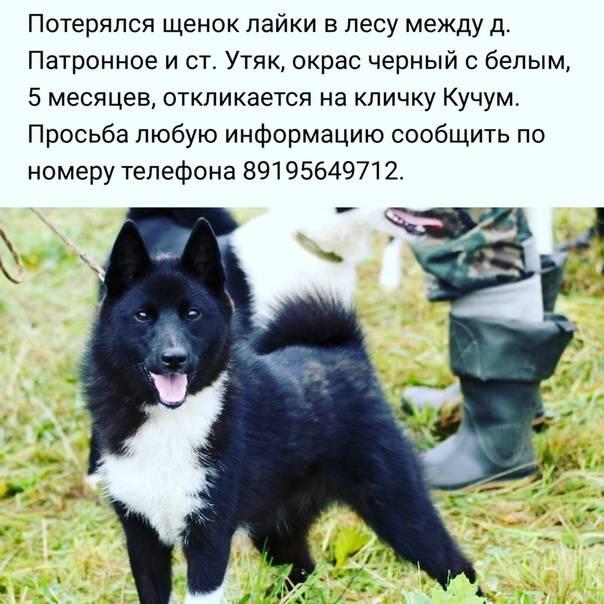 ᐉ карельская медвежья собака описание породы - zoomanji.ru