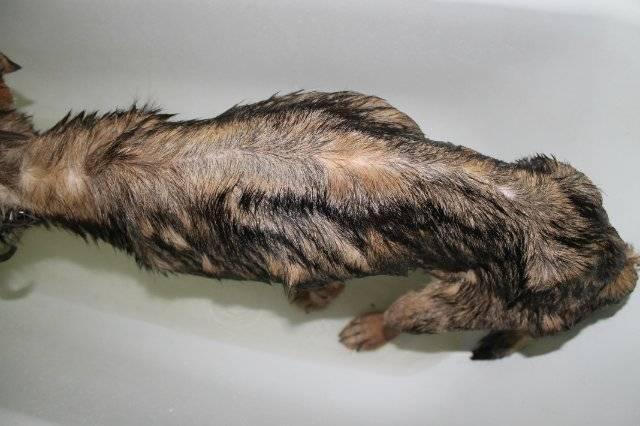 """Почечная недостаточность у кошек: симптомы, причины,  лечение   блог ветклиники """"беланта"""""""