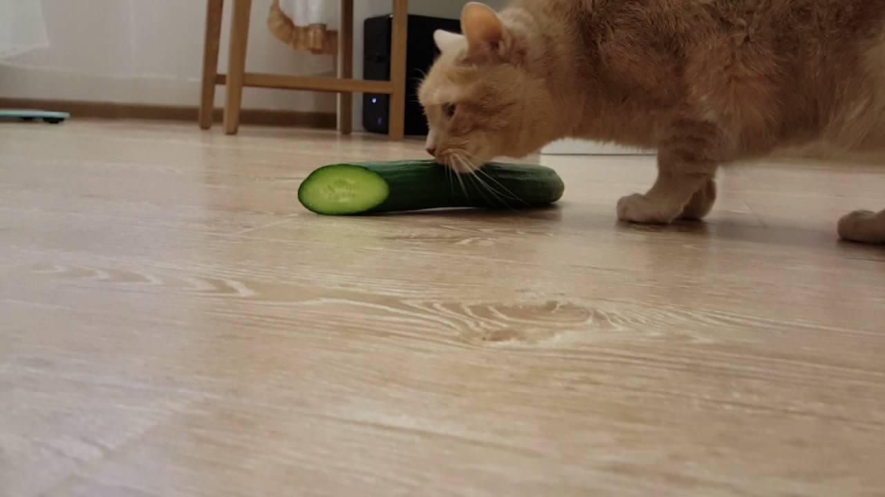 6 достоверных причин почему коты боятся огурцов и воды