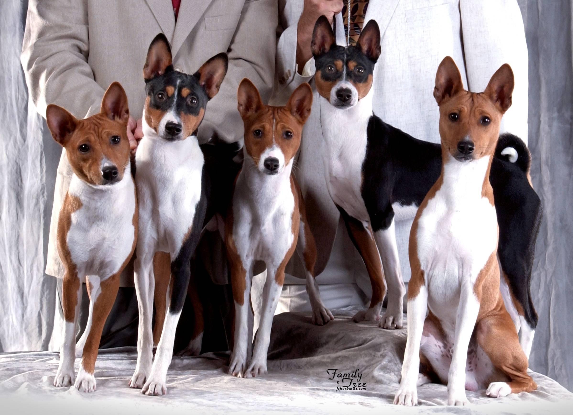 Собака, которая не лает: породы нелающих или мало лающих псов, описание с фото