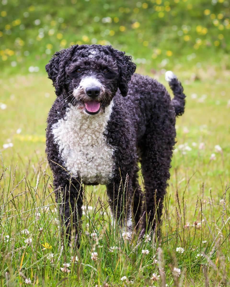 Испанская водяная собака — википедия. что такое испанская водяная собака