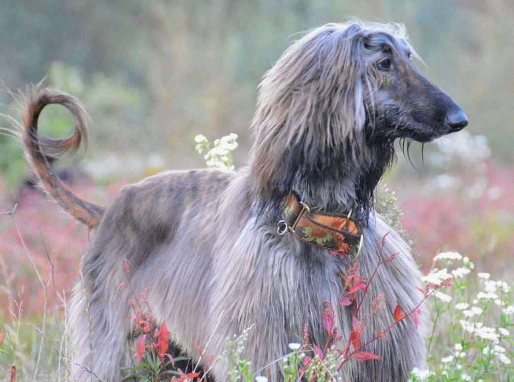 Характеристика собак породы афганская борзая с отзывами и фото