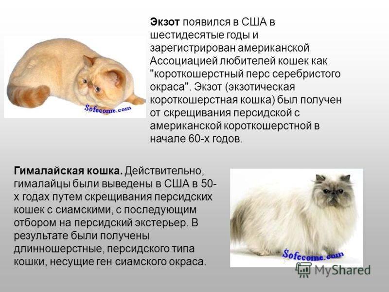 Невская маскарадная кошка: описание породы, характер, здоровье