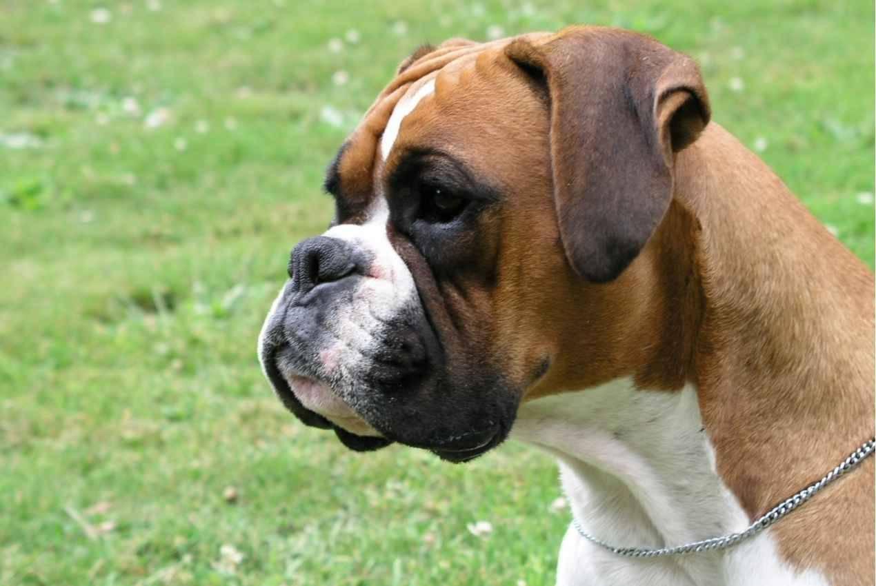 Немецкий боксер (фото): дружелюбный пес и бесстрашный защитник
