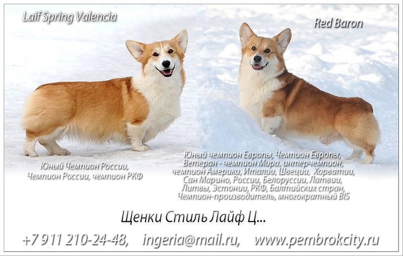 ᐉ вельш корги кардиган: описание породы, характер и отличие от пемброка - kcc-zoo.ru