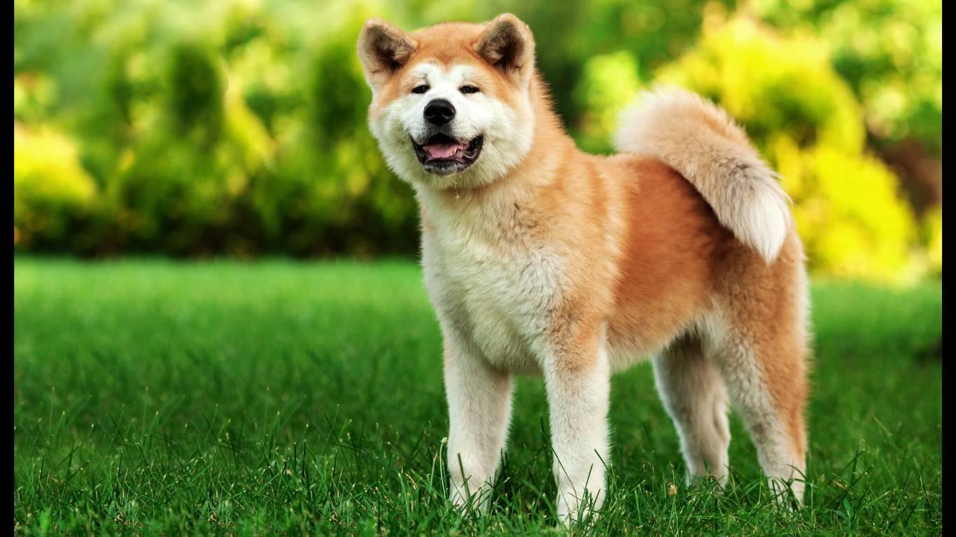 Китайские породы собак с фотографиями и названиями