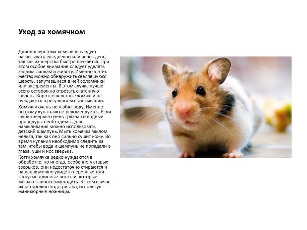 Хомяки: уход в домашних условиях за пушистым позитивным питомцем. содержание, размножение и уход за хомяками в домашних условиях