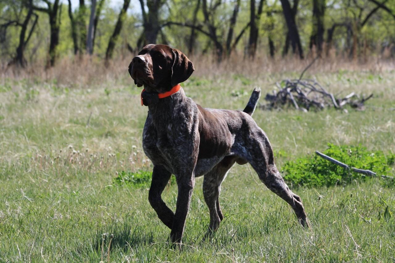 Английский пойнтер: описание породы и характера собаки