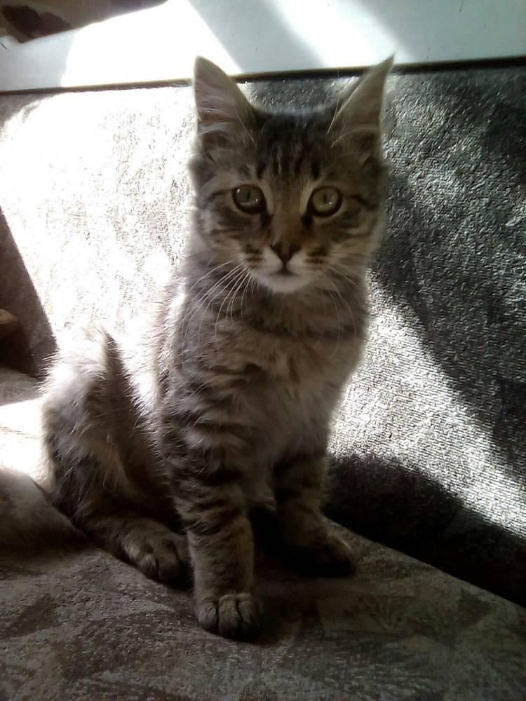 Мейн-кун и обычная кошка: как отличить породистых котят