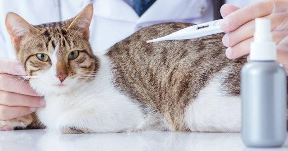 ᐉ мокрый и холодный нос у кошки - zoomanji.ru