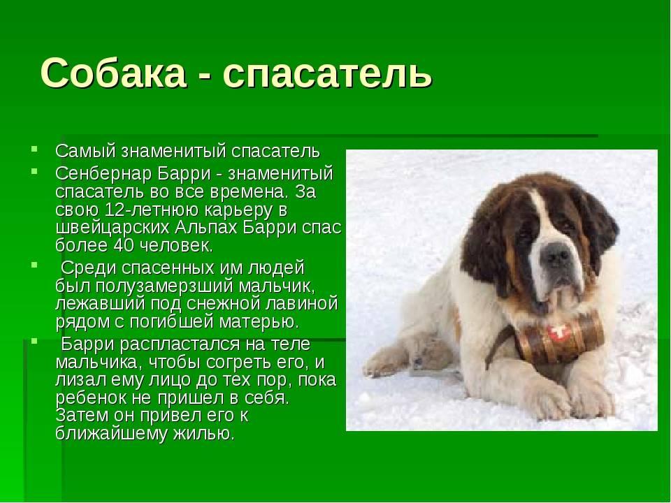 Сенбернар: особенности ухода за собакой-спасателем