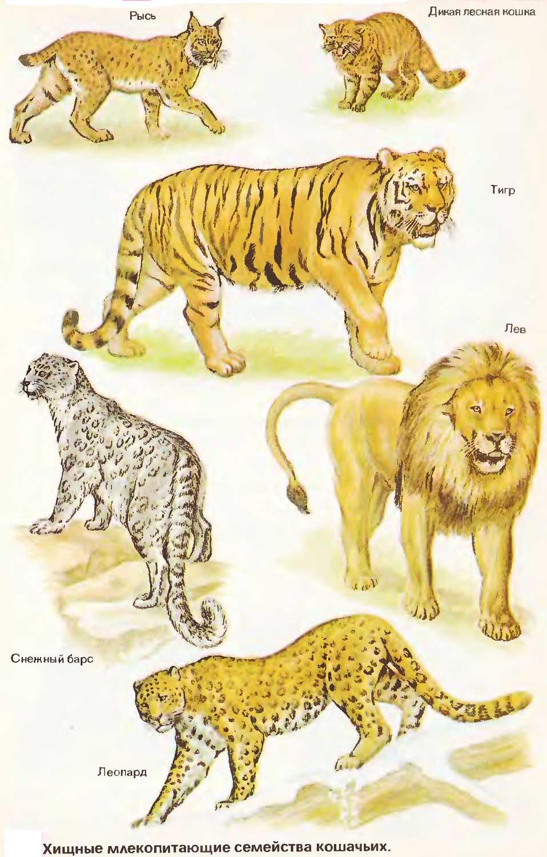 Самые маленькие дикие кошки планеты: описание и фото видов