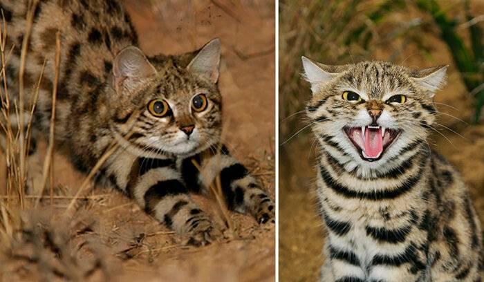 Внешний вид черноногой кошки: подробное описание африканских диких котов