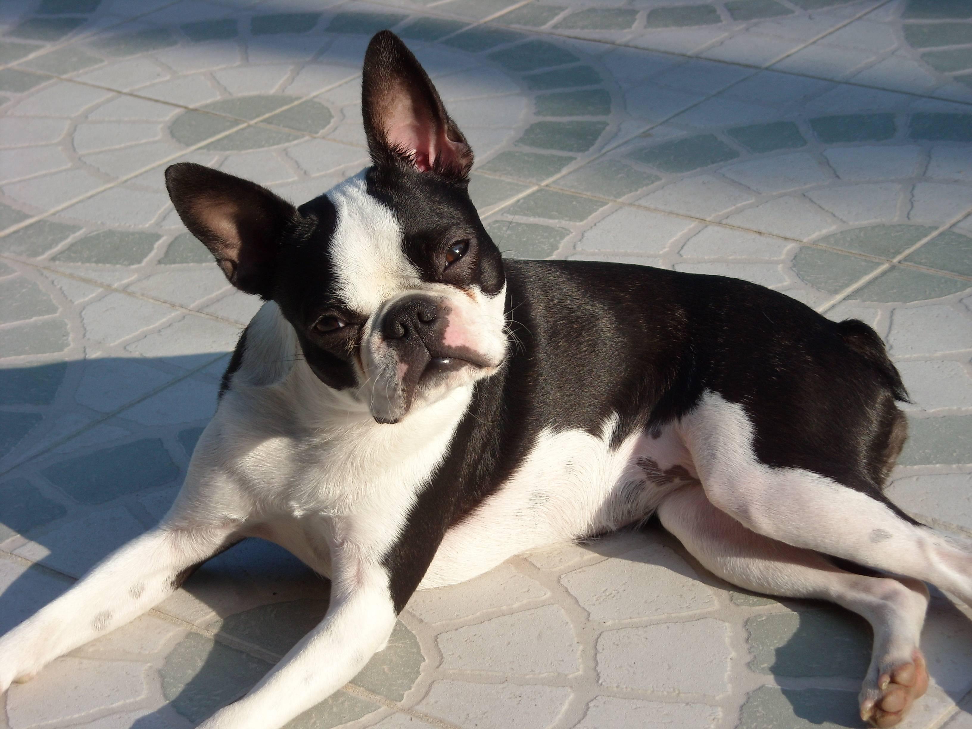 Описание породы собак бостон терьер с отзывами владельцев и фото