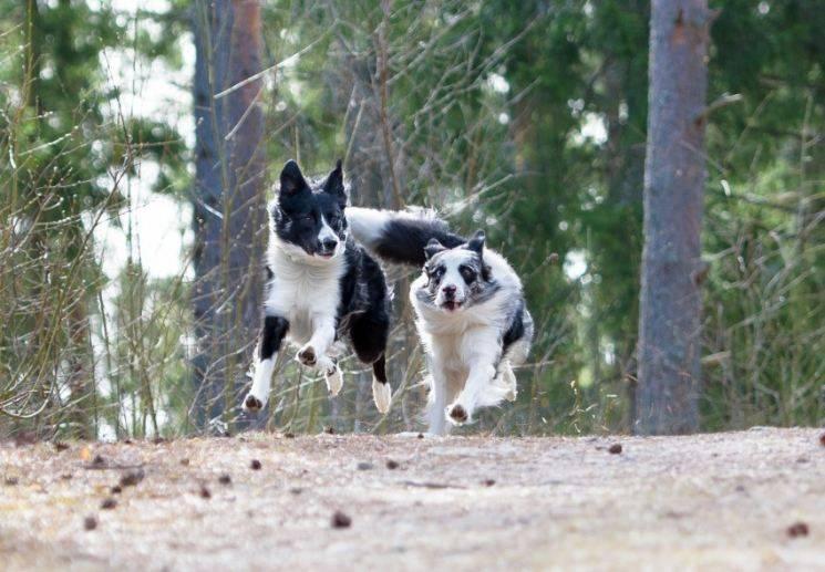 Особенности карельских медвежьих лаек: характеристика породы собак