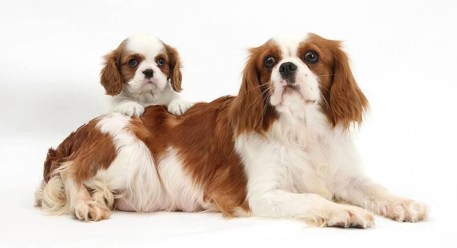 Кавалер кинг чарльз спаниель - 100 фото и обзор основных особенностей собаки
