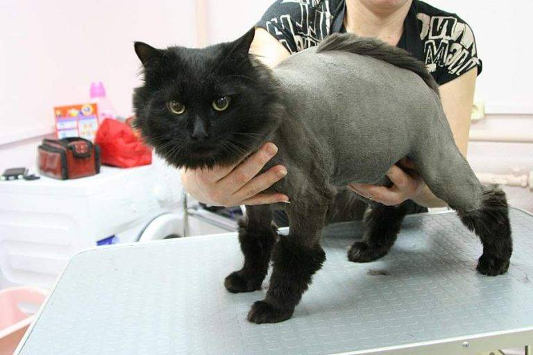 Стрижка кошек (груминг): с фото, цены, как подстричь на дому