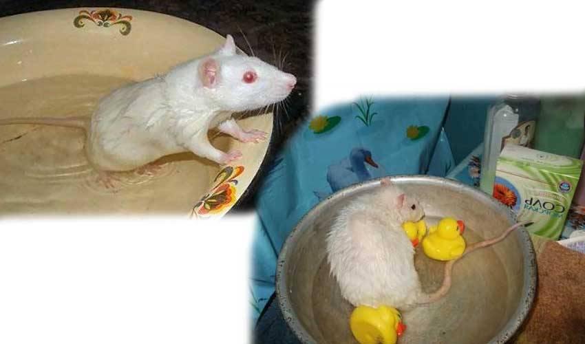 Как купать крысу в домашних условиях, пошаговая инструкция