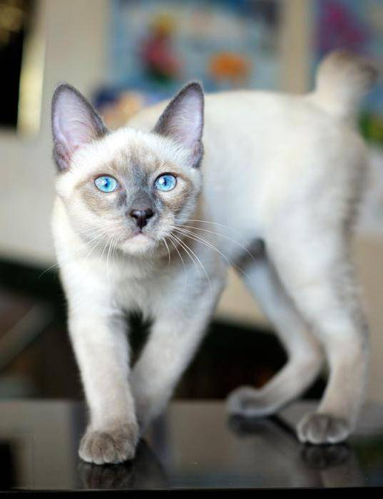 Меконгский бобтейл кошка. описание, особенности, уход и цена меконгского бобтейла | животный мир