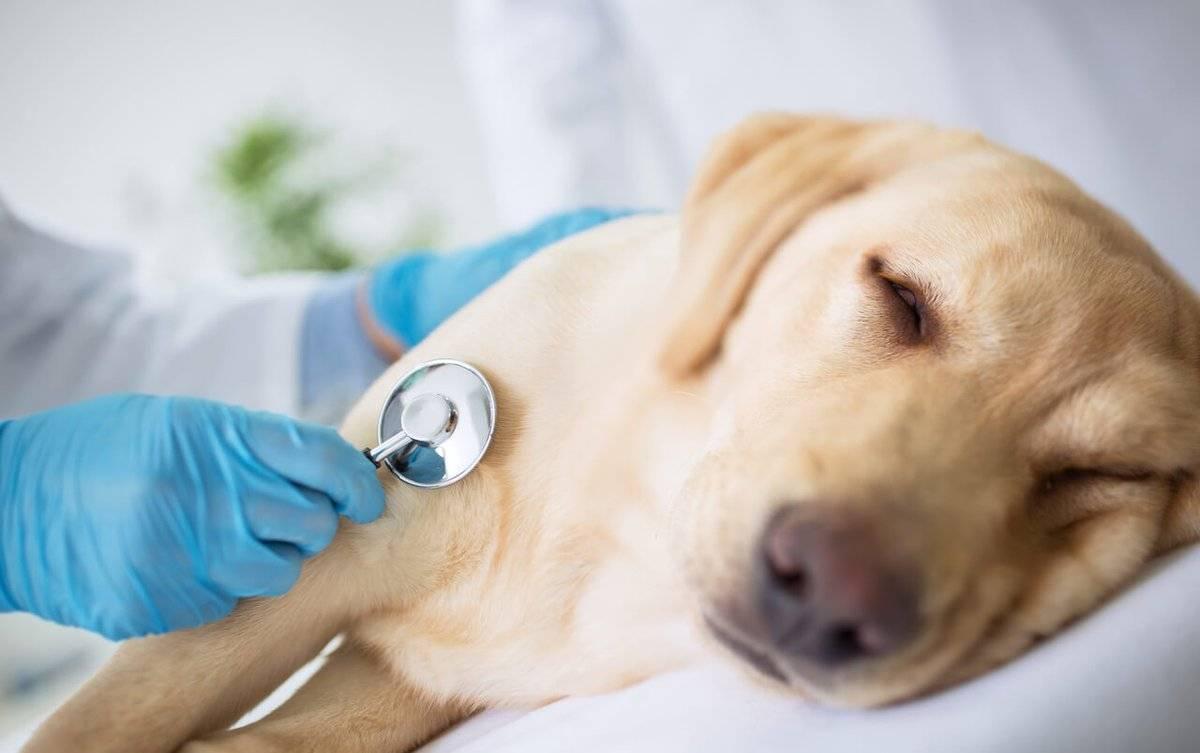 """Синдром вобблера у собак (спондимиелопатия) - симптомы и лечение в москве. ветеринарная клиника """"зоостатус"""""""