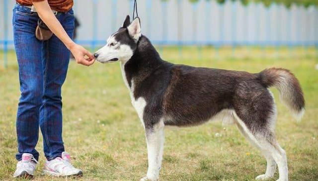 Как дрессировать лайку: воспитание щенка в домашних условиях