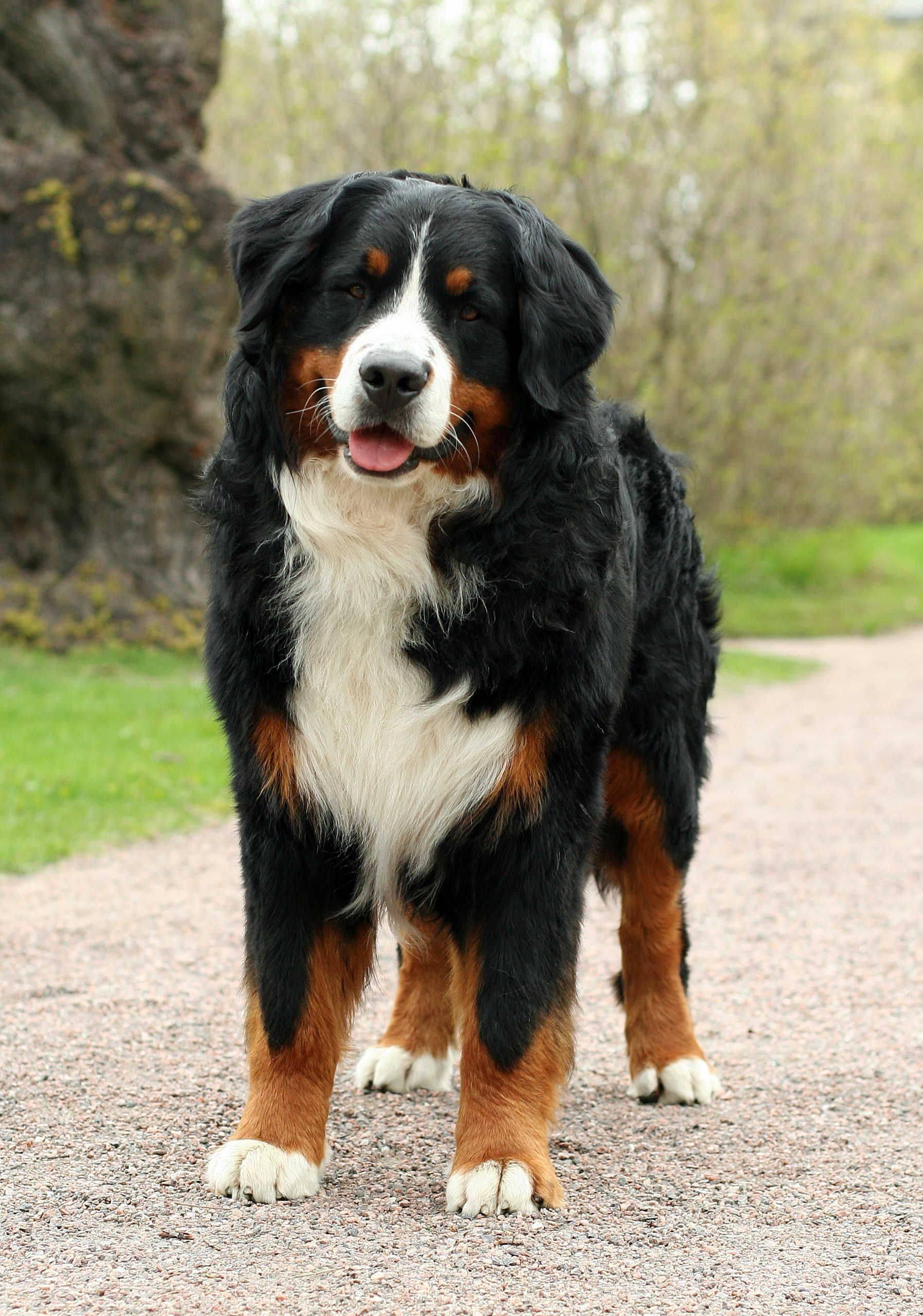 Скотогонные и пастушьи породы собак с фотографиями и названиями
