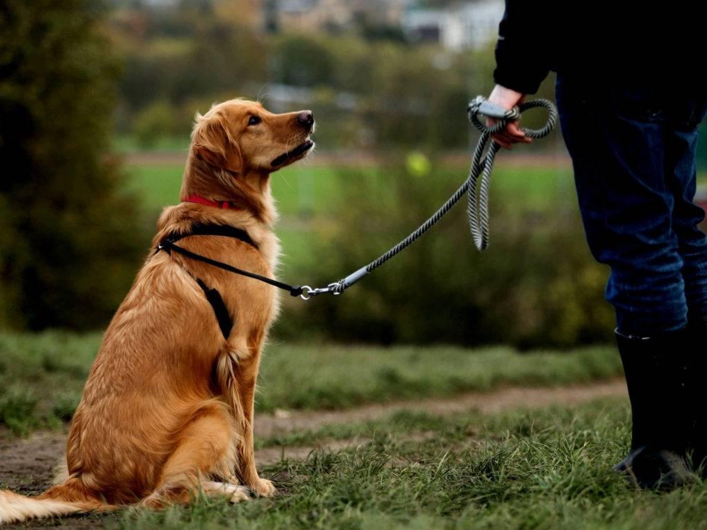 Как показать собаке, что ты вожак: приемы установления лидерства в стае
