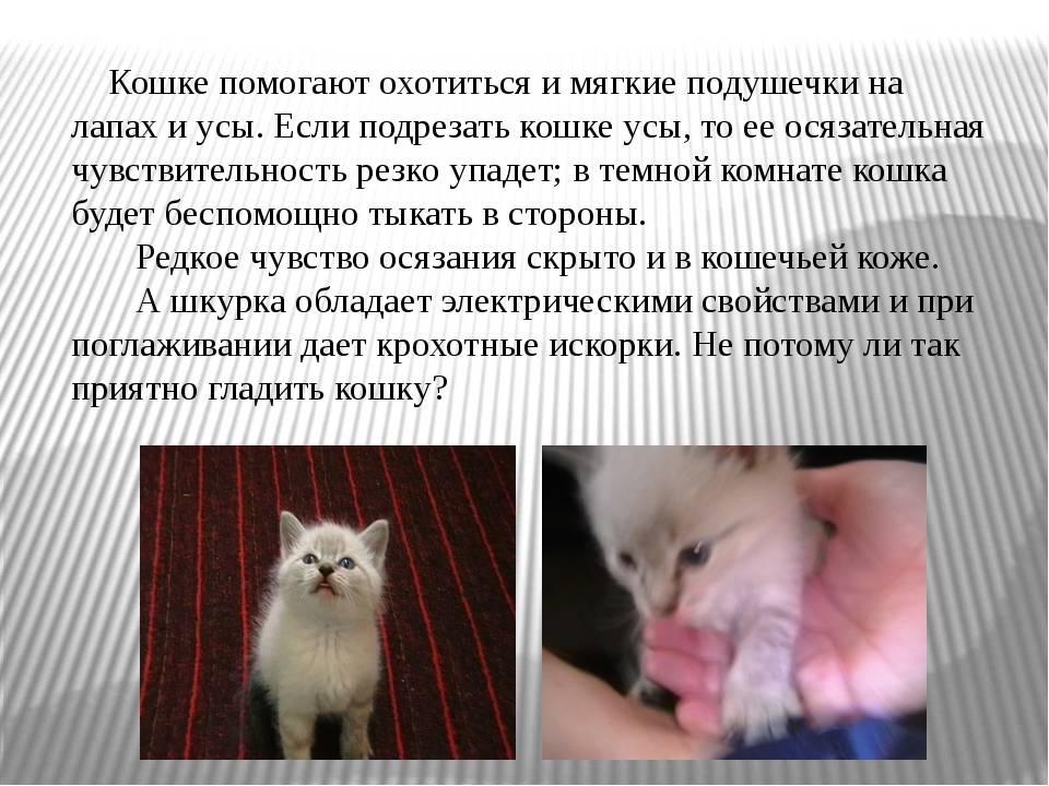 Что такое вибриссы и зачем они кошке? усы кошки - осязание вибриссы у кота - новая медицина