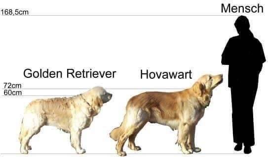 Ховаварт: стандарт породы, особенности содержания и воспитания этих собак, советы по выбору щенков
