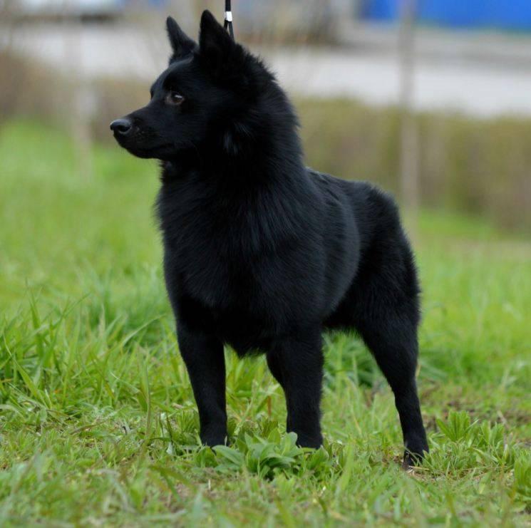 Подробная характеристика собак шипперке: особенности характера породы