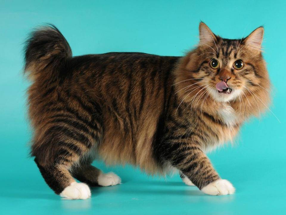 Американская короткошерстная кошка — дружелюбная охотница
