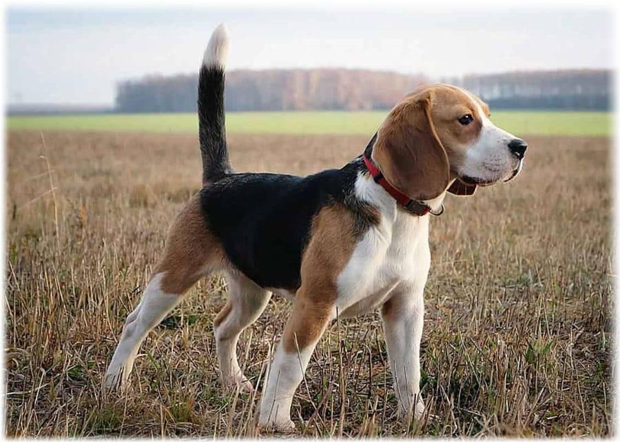 Бигль собака. описание, особенности, уход и цена бигля