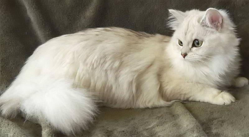 33 породы длинношёрстных кошек с названиями, описаниями и фото