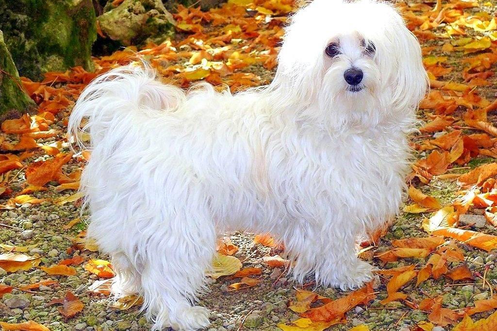 Котон де тулеар собака. описание, особенности, уход и цена породы котон де тулеар | животный мир