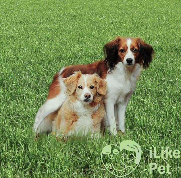 Кеесхонд собака. описание, особенности, уход и цена породы кеесхонд   sobakagav.ru