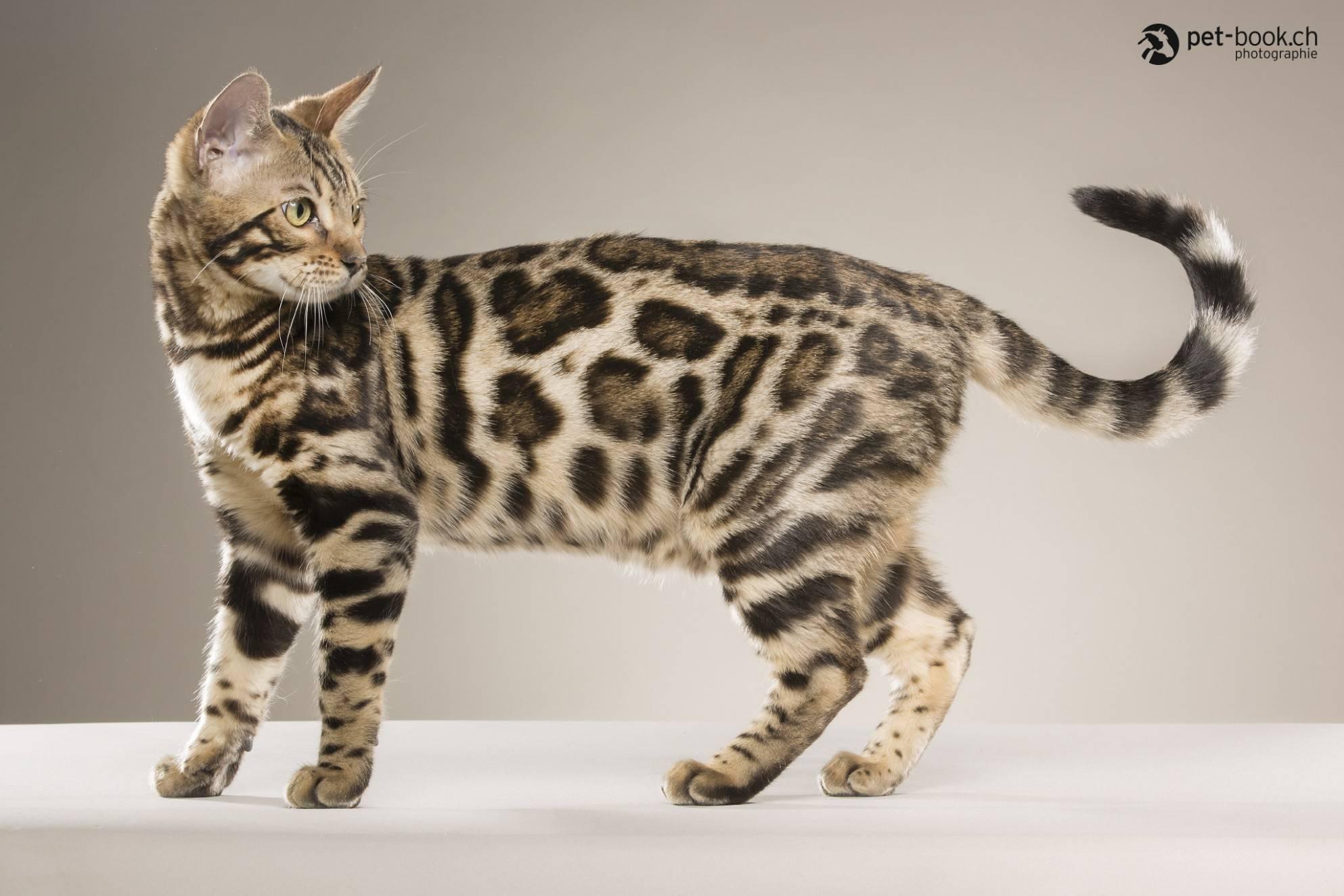 Дикие кошки   фото и названия пород, в природе