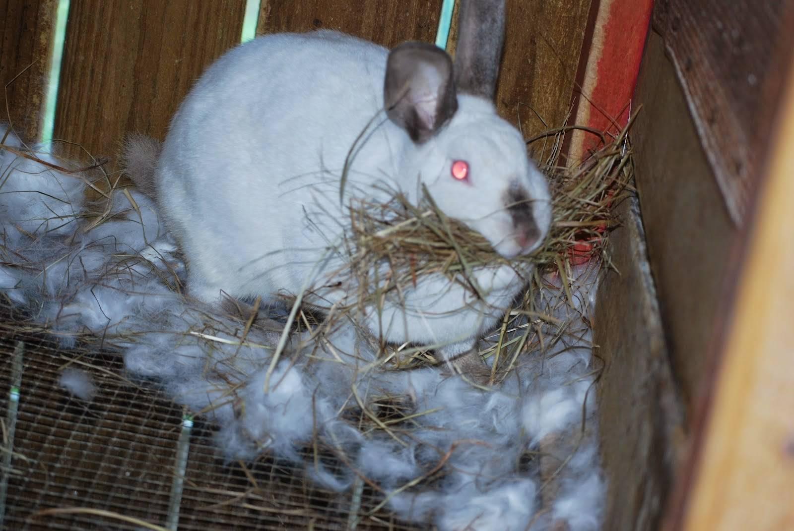 Беременность крольчихи: сколько длится, признаки, рекомендации