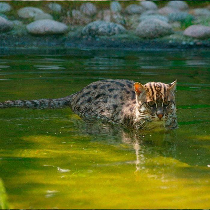 Описание кошек породы виверровый кот-рыболов - oozoo.ru