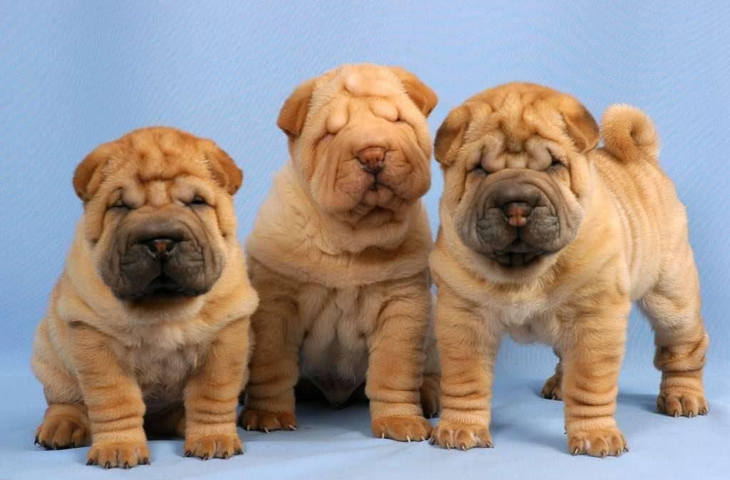 ᐉ собаки со складками порода - zoomanji.ru