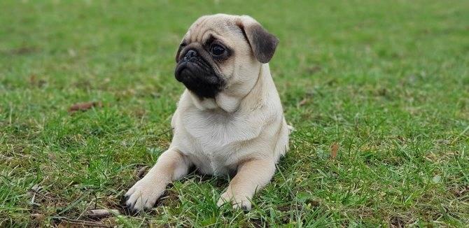 Какие существуют породы собак похожие на мопса и как они называются?